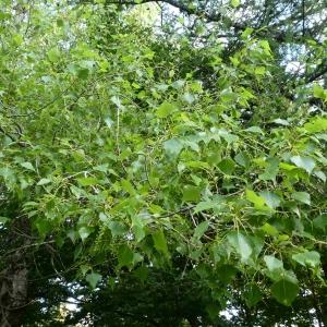 Photographie n°2314028 du taxon Populus nigra L.