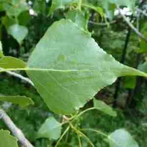 Photographie n°2314029 du taxon Populus nigra L.
