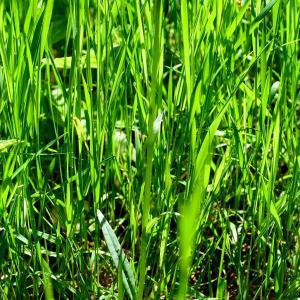 Photographie n°2314165 du taxon Dactylorhiza fuchsii (Druce) Soó [1962]