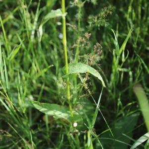 Photographie n°2314186 du taxon Polygonum bistorta L.