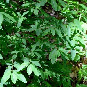 Photographie n°2314315 du taxon Lonicera nigra L. [1753]