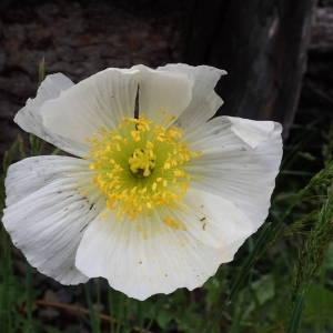 Photographie n°2314442 du taxon Papaver alpinum L. [1753]