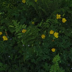 Photographie n°2314515 du taxon Meconopsis cambrica (L.) Vig. [1814]