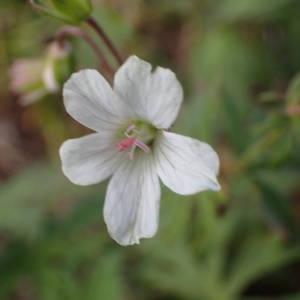 Photographie n°2314522 du taxon Geranium rivulare Vill. [1779]