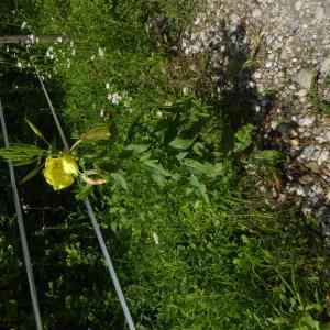 Photographie n°2314686 du taxon Oenothera L.