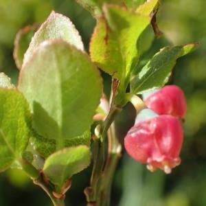 Photographie n°2314889 du taxon Vaccinium myrtillus L.