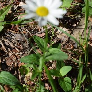 Photographie n°2315052 du taxon Leucanthemum vulgare Lam. [1779]