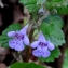Michel Pansiot - Glechoma hederacea L. [1753]