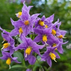 - Solanaceae