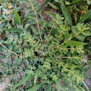 Photographie n°2315193 du taxon Euphorbia prostrata Aiton