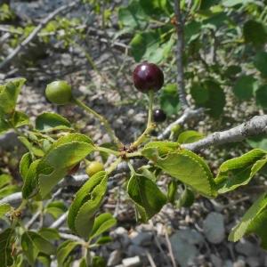 Photographie n°2315260 du taxon Prunus mahaleb L.