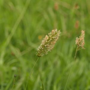 Photographie n°2315473 du taxon Anthoxanthum odoratum L.