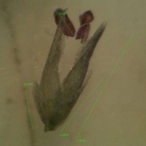 Photographie n°2315505 du taxon Sporobolus indicus (L.) R.Br.