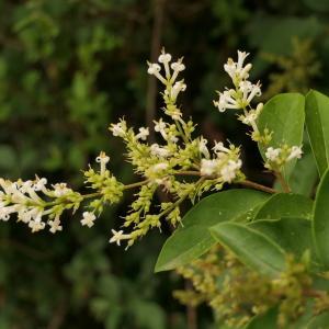 Photographie n°2315531 du taxon Ligustrum ovalifolium Hassk. [1844]