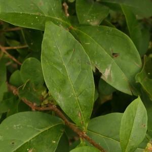 Photographie n°2315533 du taxon Ligustrum ovalifolium Hassk. [1844]