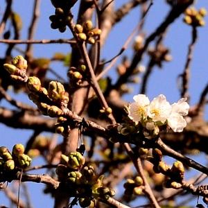 Photographie n°2315908 du taxon Prunus avium (L.) L. [1755]