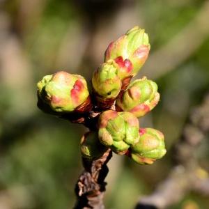 Photographie n°2315909 du taxon Prunus avium (L.) L. [1755]