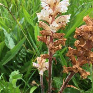 Photographie n°2316025 du taxon Orobanche alba Stephan ex Willd.