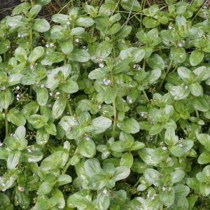Photographie n°2316096 du taxon Veronica beccabunga L.