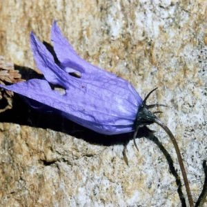 Photographie n°2316464 du taxon Campanula excisa Schleich. ex Murith [1810]