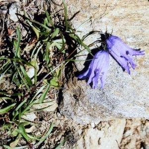 Photographie n°2316465 du taxon Campanula excisa Schleich. ex Murith [1810]