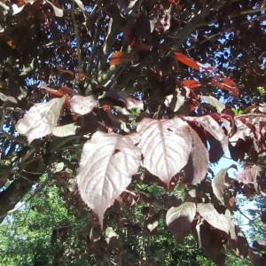 Photographie n°2316548 du taxon Prunus cerasifera Ehrh.