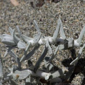 Photographie n°2316556 du taxon Achillea maritima (L.) Ehrend. & Y.P.Guo [2005]