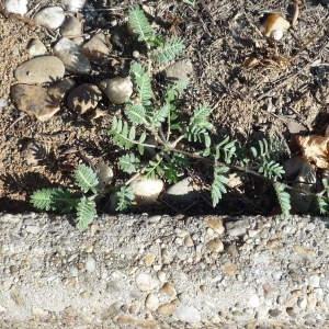 Photographie n°2316667 du taxon Tribulus terrestris L. [1753]