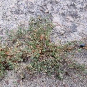 Photographie n°2316776 du taxon Spergularia rubra (L.) J.Presl & C.Presl