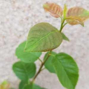Photographie n°2316777 du taxon Prunus sp.