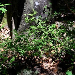 Photographie n°2316785 du taxon Vaccinium myrtillus L.