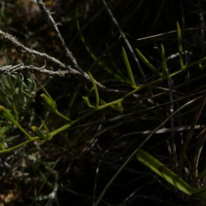 Photographie n°2316838 du taxon Thesium humifusum subsp. humifusum