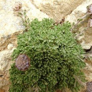 Photographie n°2316846 du taxon Jasione crispa subsp. arvernensis Tutin [1973]