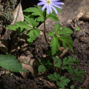 Photographie n°2316917 du taxon Anemone apennina L. [1753]