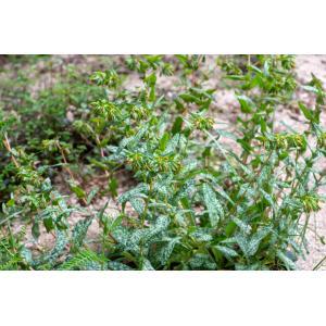 Cerinthe tenuiflora Bertol. [1836] (Cérinthe à petites fleurs)