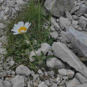 Photographie n°2317098 du taxon Leucanthemum ircutianum DC. [1838]