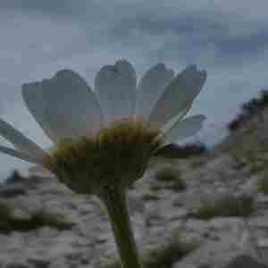Photographie n°2317100 du taxon Leucanthemum ircutianum DC. [1838]