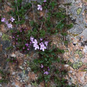 - Thymus herba-barona Loisel.