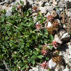 Photographie n°2317306 du taxon Trifolium thalii Vill. [1779]