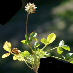 Photographie n°2317313 du taxon Trifolium thalii Vill. [1779]