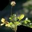 Liliane Roubaudi - Trifolium thalii Vill. [1779]