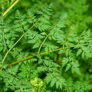 - Conium maculatum var. maculatum