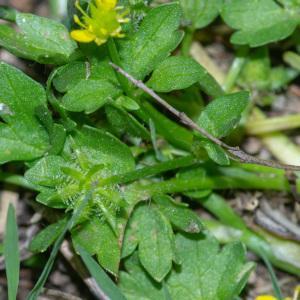 Photographie n°2317564 du taxon Ranunculus muricatus L. [1753]