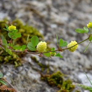 Photographie n°2317594 du taxon Trifolium aureum Pollich [1777]