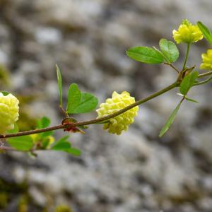 Photographie n°2317595 du taxon Trifolium aureum Pollich [1777]