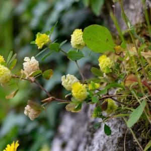 Photographie n°2317596 du taxon Trifolium aureum Pollich [1777]