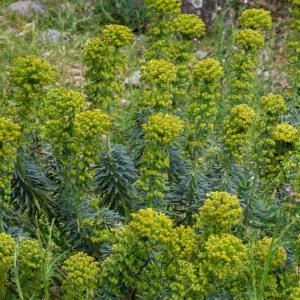 Photographie n°2317719 du taxon Euphorbia characias subsp. characias
