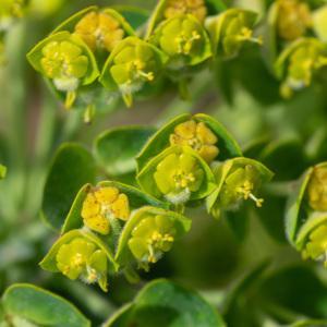 - Euphorbia characias subsp. characias