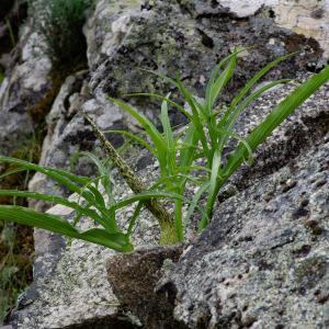 - Helicodiceros muscivorus (L.f.) Engl.
