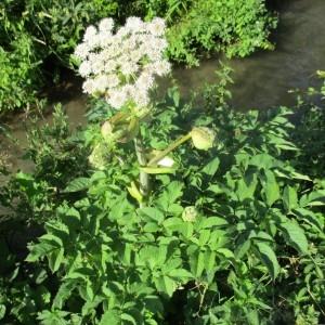 Photographie n°2317974 du taxon Angelica sylvestris L. [1753]